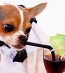 Thirsty High Class Chihuahua Having A Drink From A Straw And Glass
