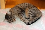 large-male-cat-sleeping_MkLiWD_u