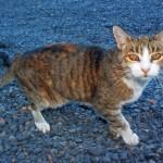 pet-tabby-cat_MkC1Uw_d